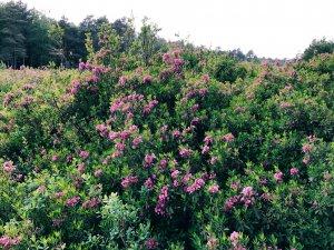 Blühende Kalmia auf einer Freifläche unter Hochspannungsleitungen