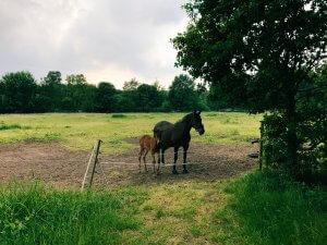 Pferd mit Fohlen auf einer Weide