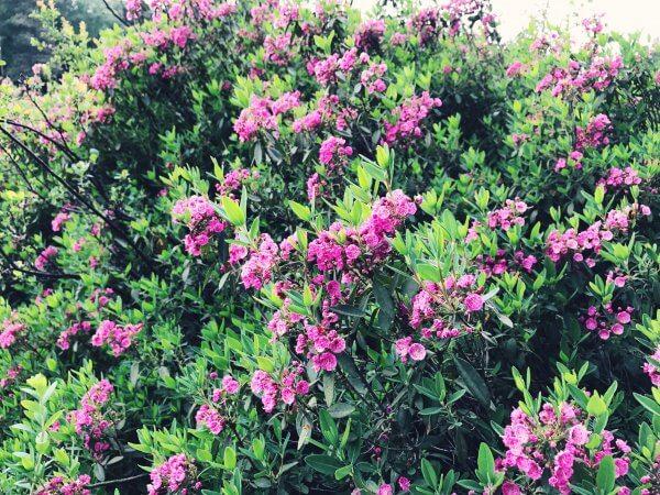 pinkfarbene Blüten der Kalmia angustifolia